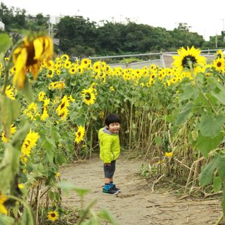 sunflower_ver2
